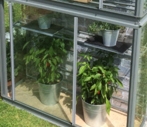growing chillies in a greenhouse