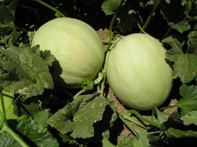 growing melons in a greenhouse
