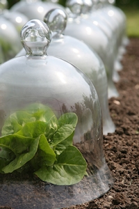 Row of glass bell cloches over lettuce plants